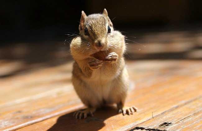 疯狂动物城仓鼠