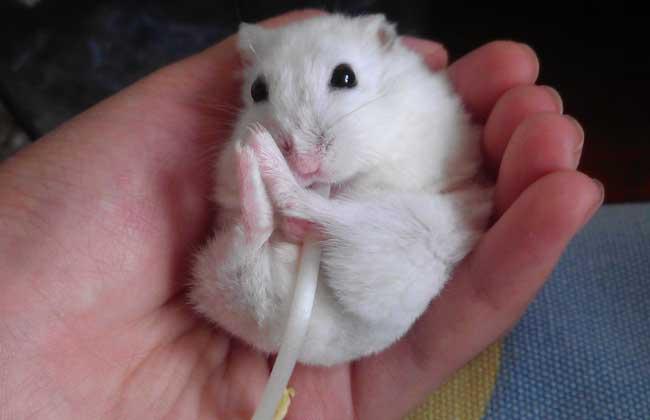 银狐仓鼠多少钱一只