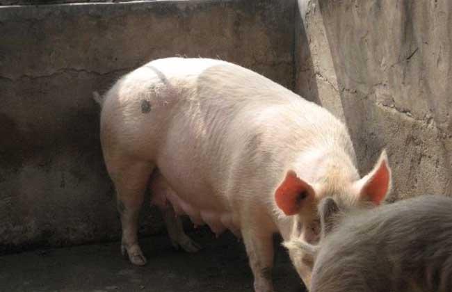母猪配种最佳时间