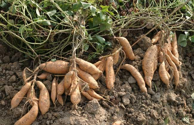 红薯的产地分布