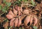 红薯种类图片大全