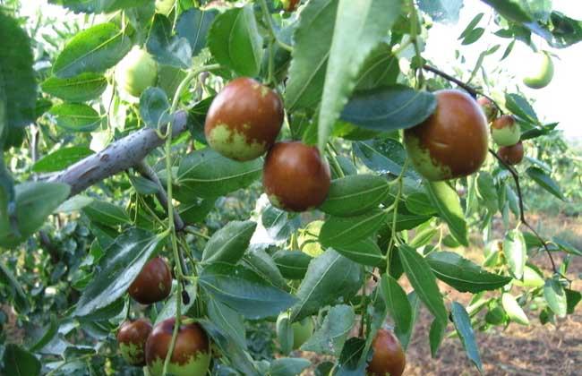 枣树种植技术