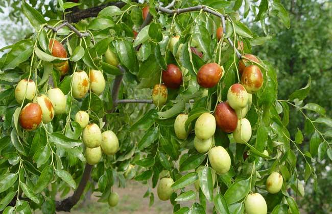 枣树嫁接方法