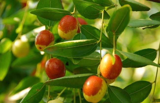 枣树几年结果