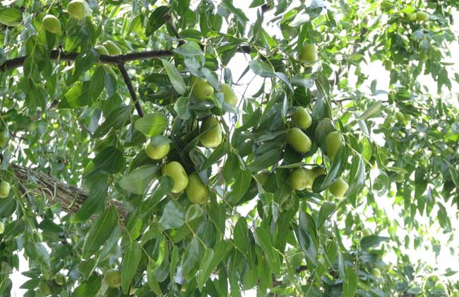 枣树修剪技术