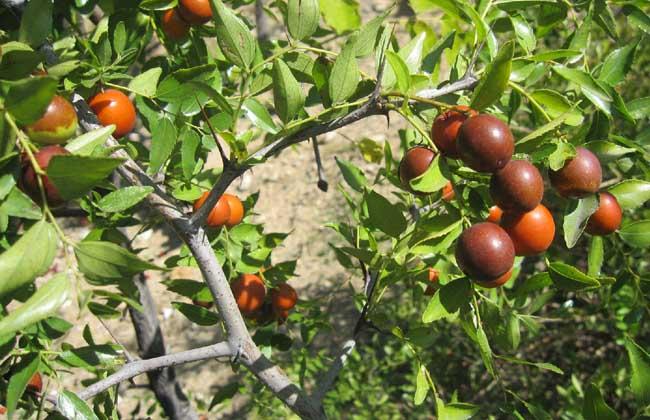 枣树种植技术视频