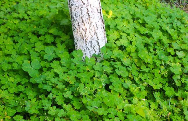 四叶草繁殖方法