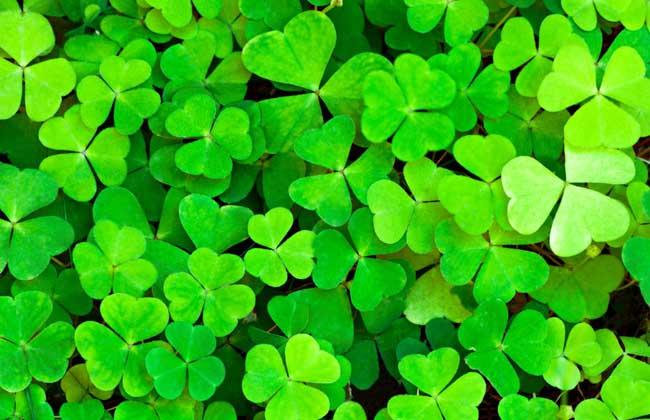 三叶草的花语星座图片