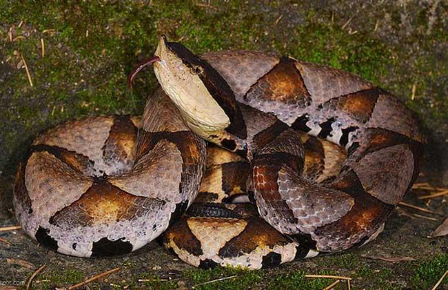 五步蛇生活习性
