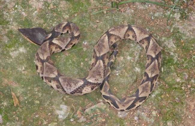 五步蛇的功效与作用