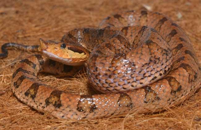 五步蛇毒性有多大?