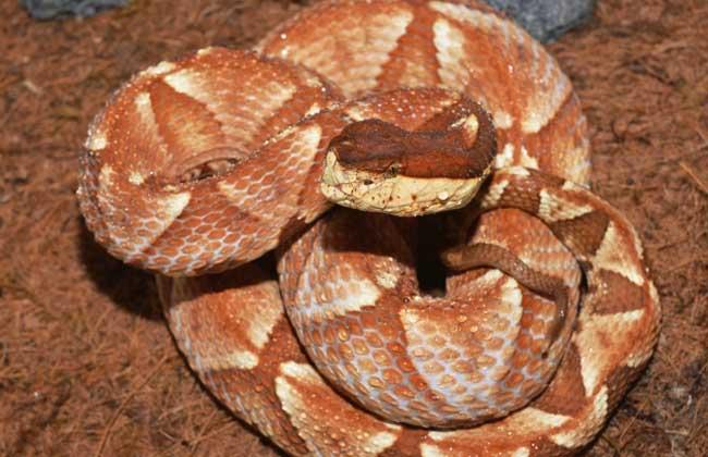 五步蛇和眼镜蛇哪个毒?