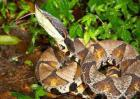 五步蛇是保护动物吗?