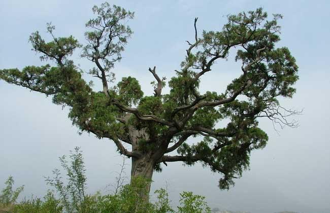 柏树的种类有哪些