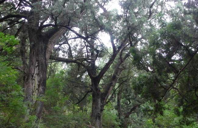 柏树种植技术