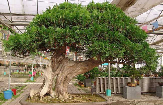 柏树种类名称及图片