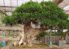 柏树盆景制作方法