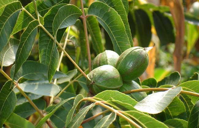 碧根果是什么树的果实图片