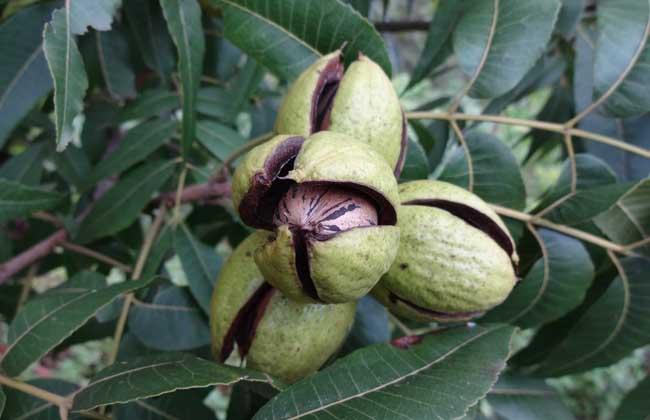 碧根果的种植条件