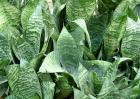 虎皮兰的养殖方法和注意事项