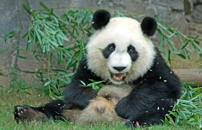 大熊猫的生活习性_大熊猫资料图片大全