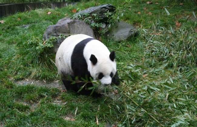 大熊猫吃什么食物?