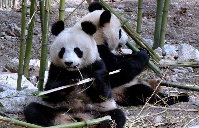大熊猫资料图片大全