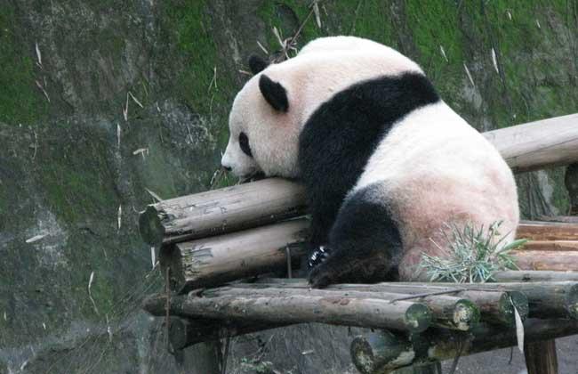 大熊猫的生活习性