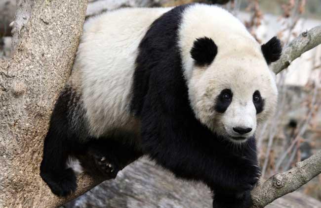大熊猫的特点有哪些?