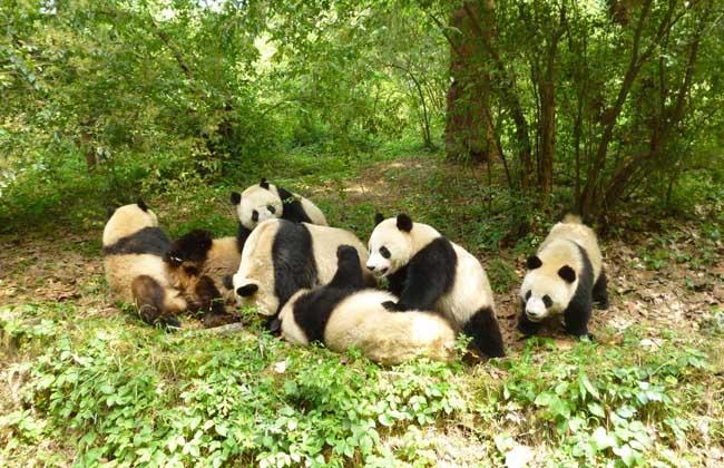 即使在睡觉的时候大熊猫看起来也很可爱