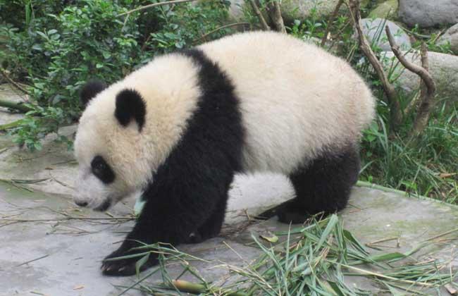 大熊猫为什么是国宝?