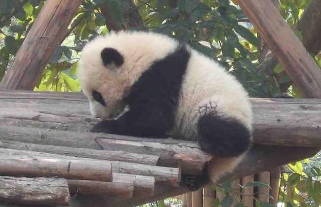 迄今所发现的最古老大熊猫成员——始熊猫
