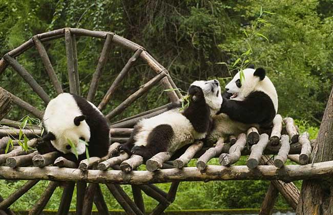 大熊猫和小熊猫的外形区别 1、大熊猫:大熊猫体型肥硕似熊、丰腴富态,头圆尾短,头躯长1200~1800毫米,尾长100~12毫米。体重80~120千克,最重可达180千克,饲养的熊猫略重,一般雄性个体稍大于雌性。头部和身体毛色黑白相间分明,但黑非纯黑,白也不是纯白,而是黑中透褐,白中带黄。 2、小熊猫:小熊猫外形像猫,较猫肥大,全身红褐色,圆脸,吻部较短,脸颊有白色斑纹。耳大,直立向前。四肢粗短,为黑褐色。尾长、较粗而蓬松,并有12条红暗相间的环纹,尾尖深褐色,头骨高而圆。