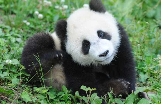 大熊猫为什么吃竹子?