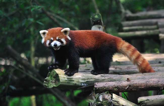 小熊猫吃什么食物?