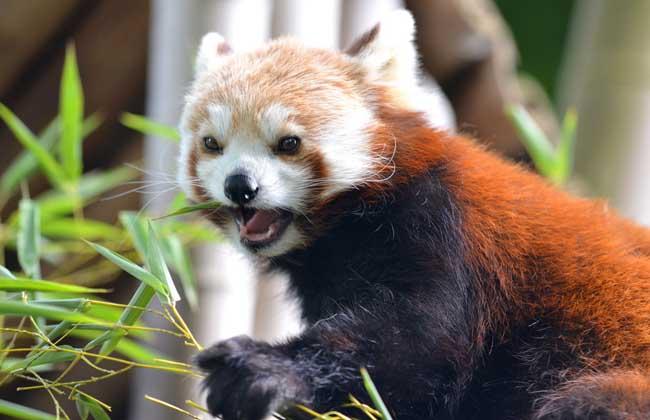 特种养殖 > 正文  小熊猫喜食箭竹的竹笋,嫩枝和竹叶,各种野果,树叶