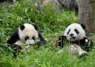 大熊猫会咬人吗?