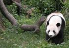 大熊猫吃不吃肉?