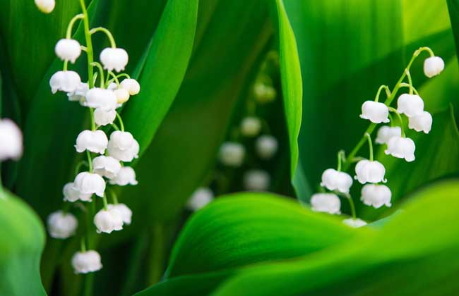 风铃草的花语和传说