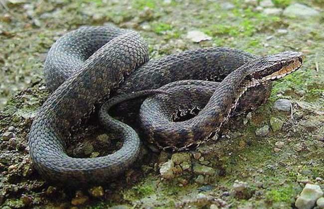 蝮蛇种类图片大全