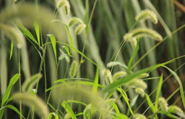 狗尾巴草是什么植物?