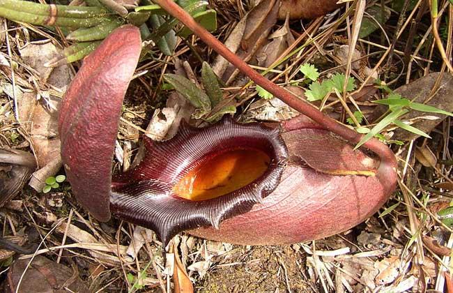巨型猪笼草是什么植物?