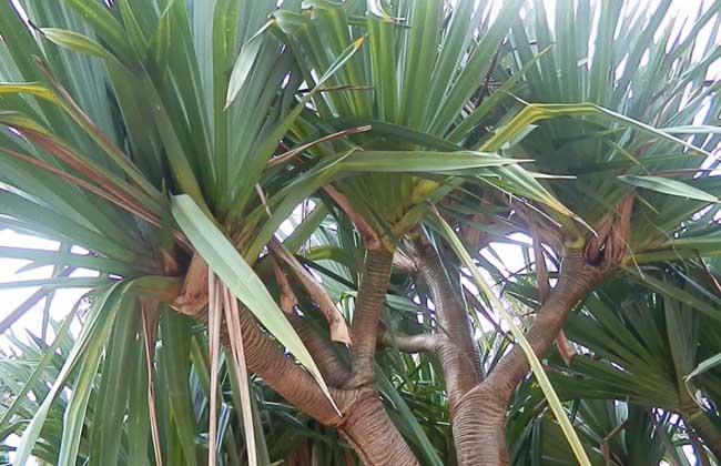 龙血树属植物图片大全