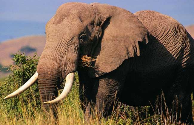 大象的交配过程