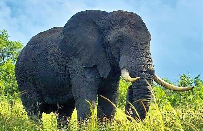 大象的寿命有多长
