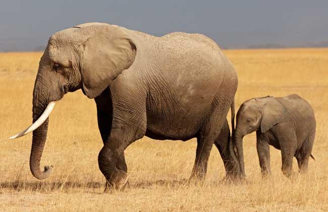 大象的特点有哪些