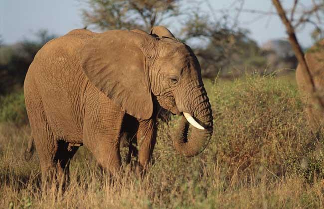 大象的特点有哪些?