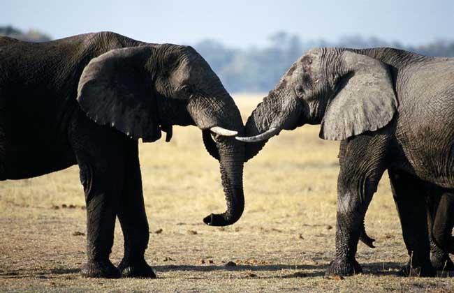 大象的资料有哪些?