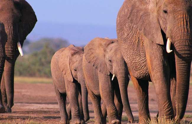 大象的资料