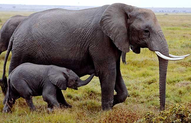 大象寿命有多长?